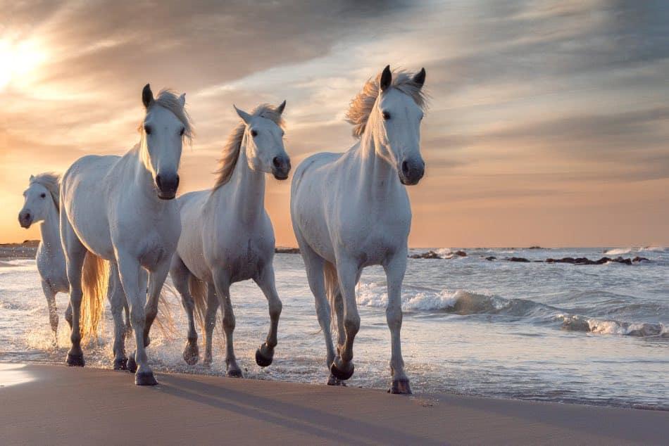 bellissimi cavalli bianchi al galoppo in spiaggia