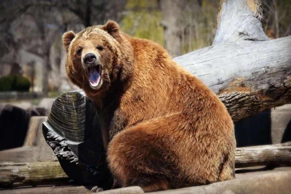 Cosa Fare se si Incontra un Orso in Montagna?