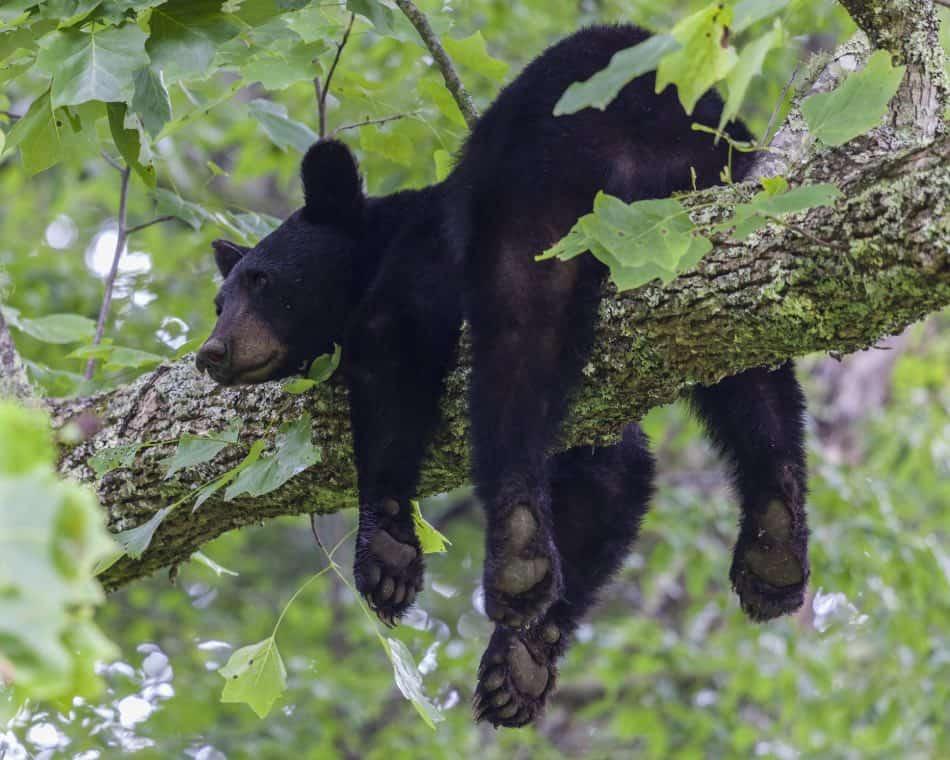 un orso può arrampicarsi su alberi